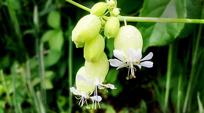 Bladder Campion Wildflowers At Fort Hill On Cape Cod