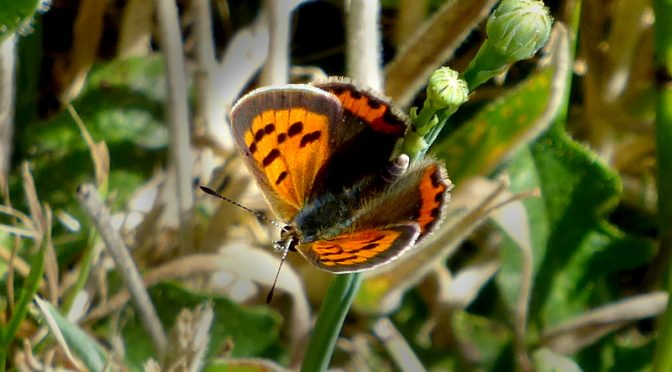 Beautiful American Copper Butterfly On Cape Cod