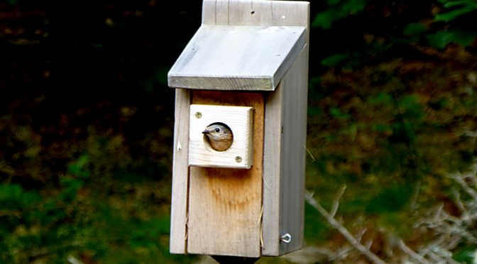 Bluebirds Still In Our Bluebird House On Cape Cod