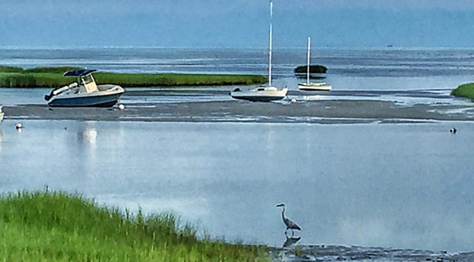 Three Poses: Great Blue Heron At Boat Meadow On Cape Cod Searching For Breakfast