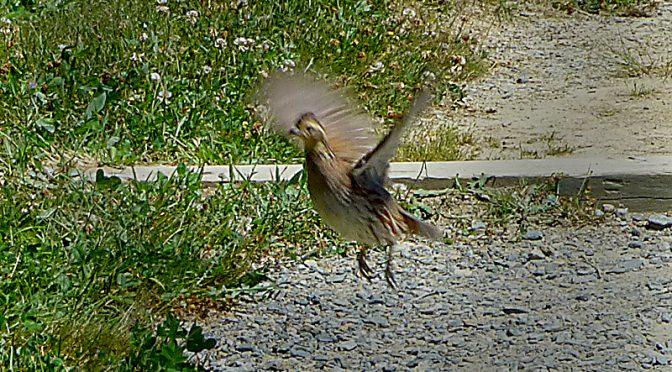 """Bobwhite In Flight"" At Fort Hill On Cape Cod"