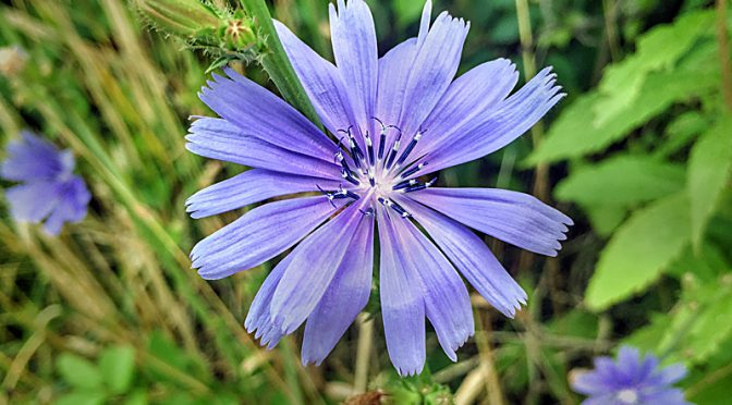 Beautiful Blue Chicory Wildflowers Are Blooming On Cape Cod