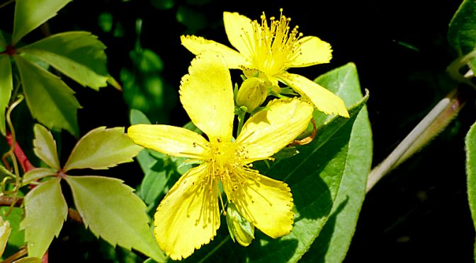 Beautiful, Yellow Common St. John's Wort Wildflowers On Cape Cod