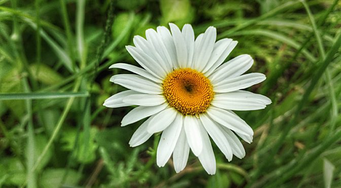 Pretty Daisies Are Blooming At Fort Hill On Cape Cod