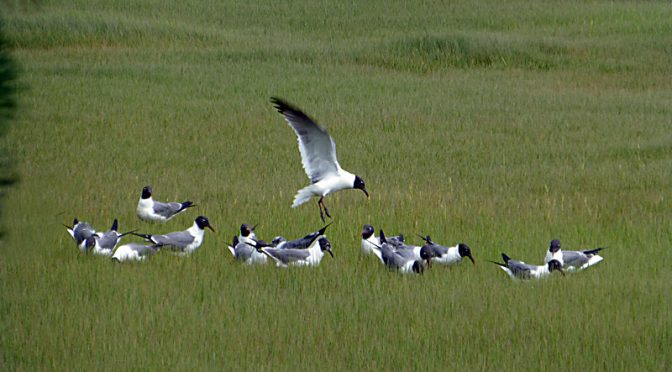 Laughing Gulls At Boat Meadow Salt Marsh On Cape Cod