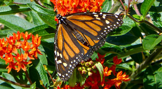 Gorgeous Monarch Butterfly On Cape Cod