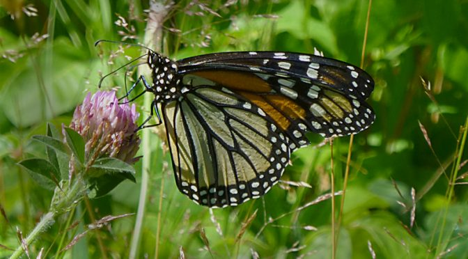 The Colorful Monarch Butterflies Are Back At Fort Hill On Cape Cod!