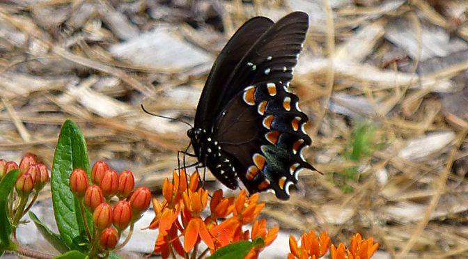 Gorgeous Spicebush Swallowtail Butterfly On Cape cod
