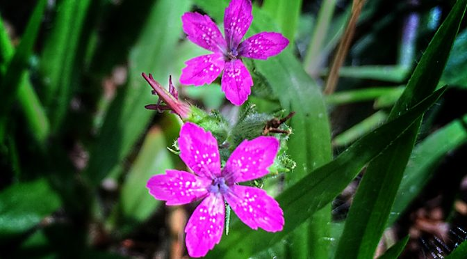 Pretty Hot Pink Storkbill Wildflowers At Fort Hill On Cape Cod