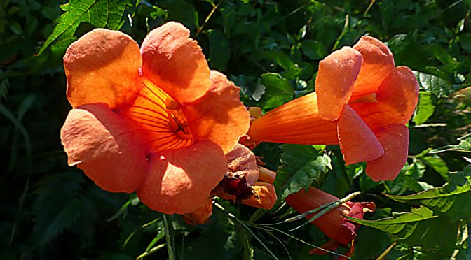 Gorgeous Bright Orange Trumpet Creeper Wildflowers Blooming On Cape Cod