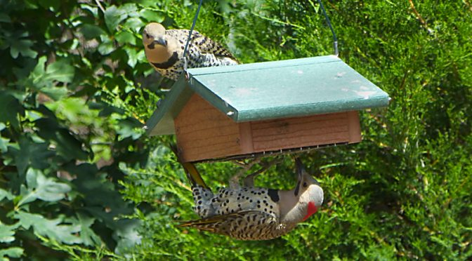 Northern Flicker Brothers Sharing Our Suet On Cape Cod