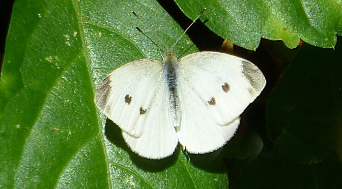 Lots Of Cabbage White Butterflies On Cape Cod