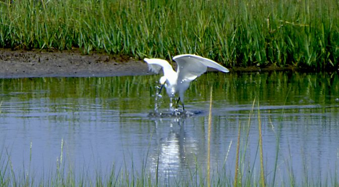 White Egret Caught His Fish At Boat Meadow On Cape Cod