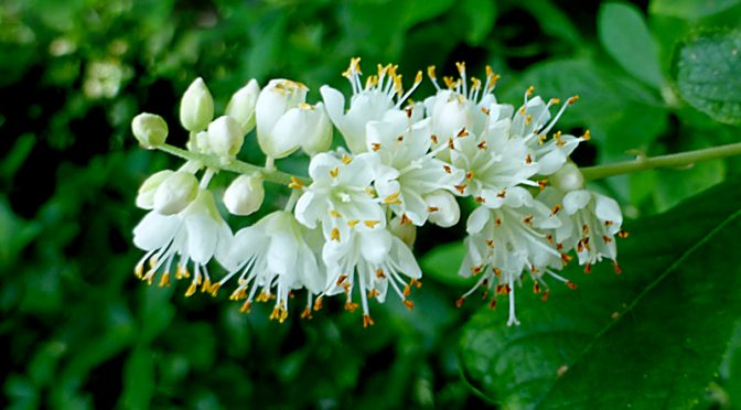 Sweet Pepperbush Wildflowers Are Blooming On Cape Cod