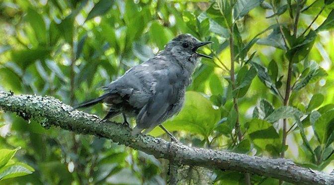 Adorable Catbird Singing Away On Cape Cod