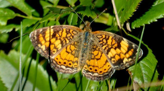 Pretty Orange And Brown Checkerspot Butterfly At Fort Hill On Cape Cod