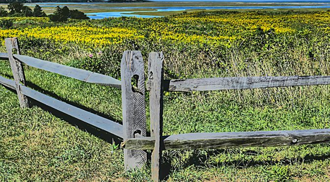 The Fields At Fort Hill On Cape Cod Are Aglow With Goldenrod Wildflowers