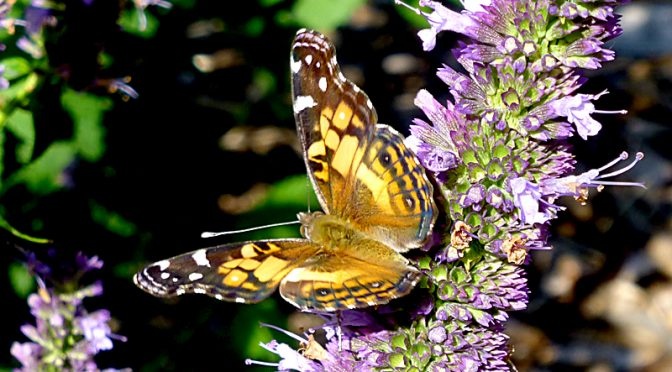Beautiful Painted Lady Butterfly At The Wellfleet Bay Wildlife Sanctuary On Cape Cod