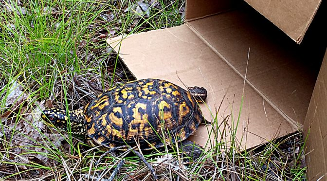 Successful Box Turtle Rescue On Cape Cod