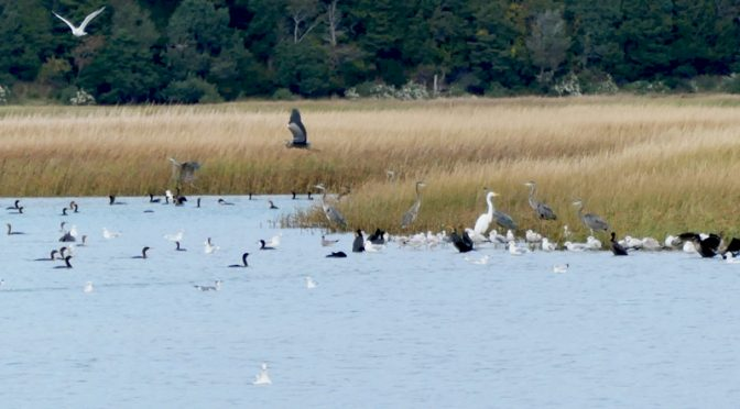 Eight Great Blue Herons On Nauset Marsh On Cape Cod.
