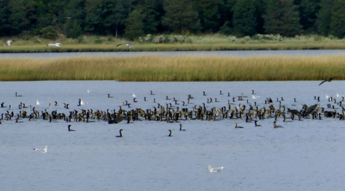Hundreds Of Double-Crested Cormorants At Nauset Marsh On Cape Cod