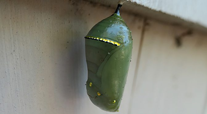 Beautiful Monarch Butterfly Chrysalis Hanging On The Shingle Of Our Home On Cape Cod.