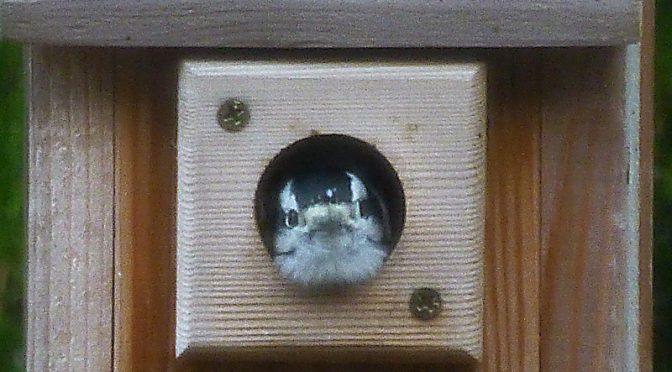 Cute Little Downy Woodpecker In Our Bird House.
