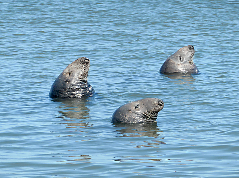 Entertaining Seals At Coast Guard Beach On Cape Cod.