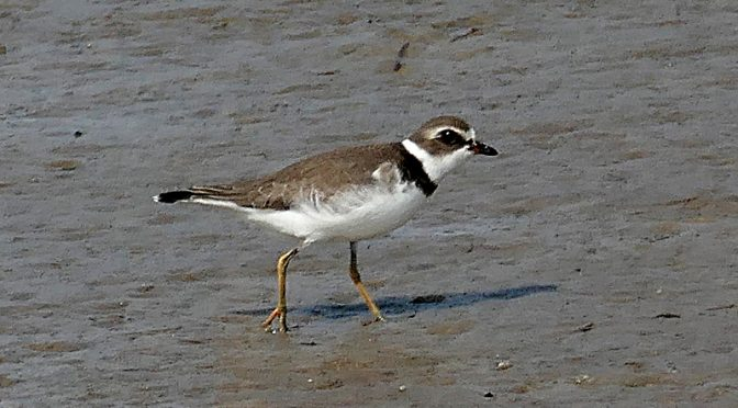 Semipalmated Plovers At Skaket Beach In Orleans On Cape Cod.