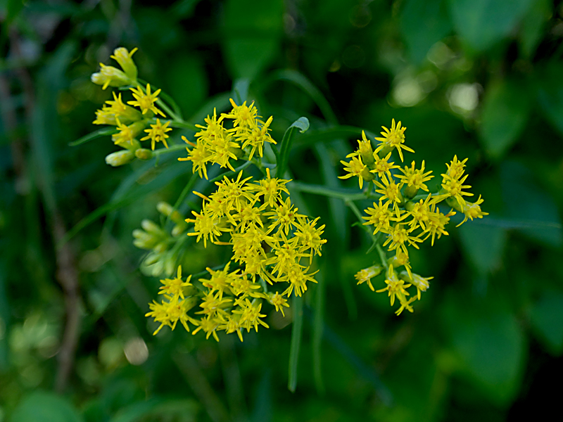 Slender Fragrant Goldenrod Wildflowers At Fort Hill On Cape Cod.