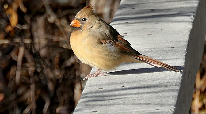 Female Cardinal On The Beech Forest Trail In Provincetown On Cape Cod.