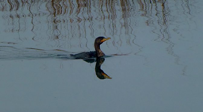 Double-Crested Cormorant At Boat Meadow Creek On Cape Cod.