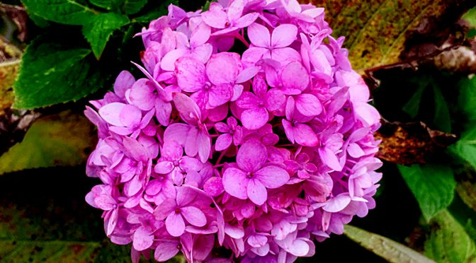 The Hydrangea Is Still Blooming At Our Home On Cape Cod!