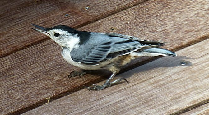 Cute Little White-Breasted Nuthatch On Our Deck On Cape Cod.