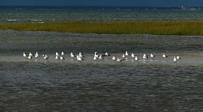 Lots Of Seagulls On The Sandbar At Skaket Beach On Cape Cod.