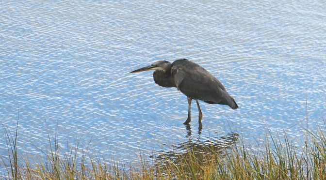 Loved This Great Blue Heron Stalking His Next Meal On Cape Cod.
