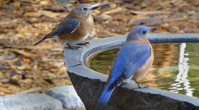 The Eastern Bluebirds Are Back At Our Home On Cape Cod.