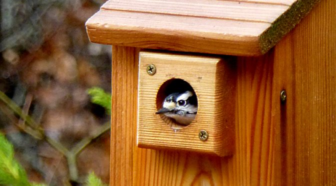 Little Downy Woodpecker Still Roosting  In Our Bird House On Cape Cod!