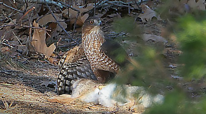 Cooper's Hawk Just Caught A Bunny At The Wellfleet Audubon On Cape Cod!