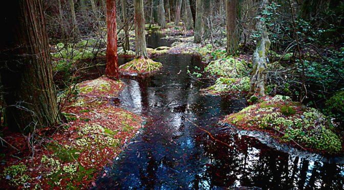 Atlantic White Cedar Swamp In Wellfleet Was Mystical.