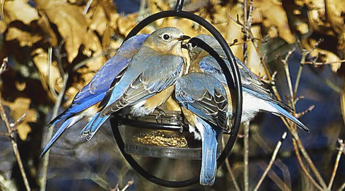 Full House At Our Bluebird Feeders On Cape Cod.