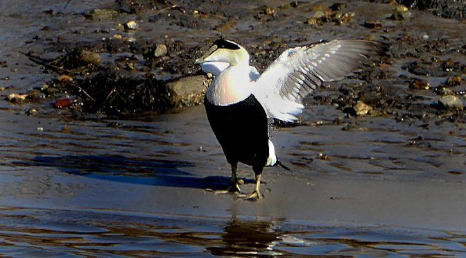 Common Eider At Rock Harbor On Cape Cod.