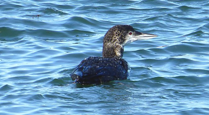 Juvenile Common Loon At Boat Meadow Creek On Cape Cod.
