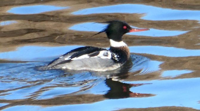 Red-Breasted Merganser At Boat Meadow Creek On Cape Cod.