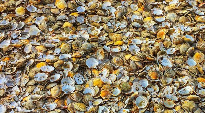 Huge Pile Of Scallop Shells In Wellfleet On Cape Cod!