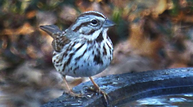 Cute, Little Song Sparrow Getting Ready For A Bath At Our Home On Cape Cod!