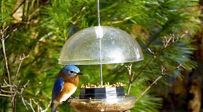 Phil's Custom-Made Bluebird Bird Feeder On Cape Cod.