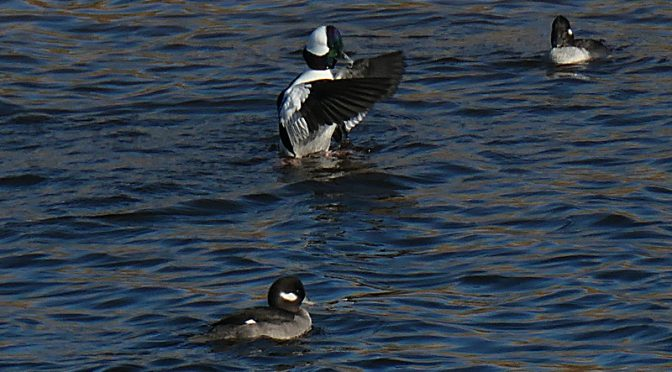 Black And White Buffleheads At Rock Harbor On Cape Cod.