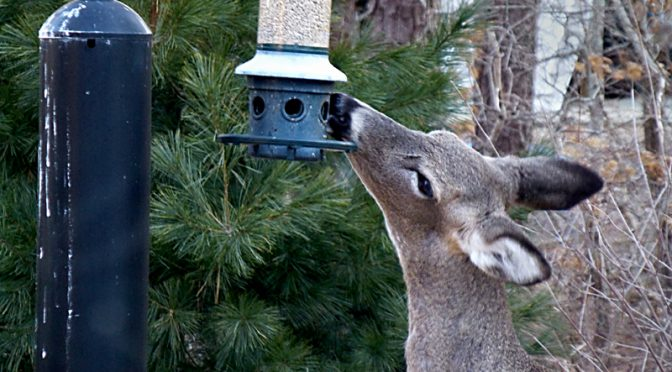 The Whitetail Deer Are Loving Our Bird Feeders On Cape Cod!