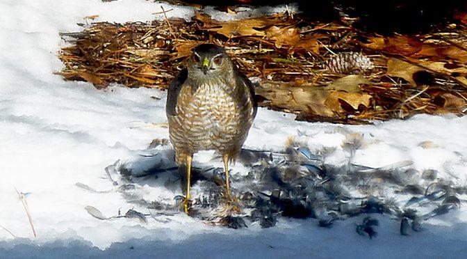 Sharp-Shinned Hawk Enjoying Lunch In Our Yard On Cape Cod.